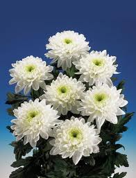 C XVI...  Больше десяти тысяч сортов хризантем существует на свете.  Цветы их напоминают ежей , пауков...