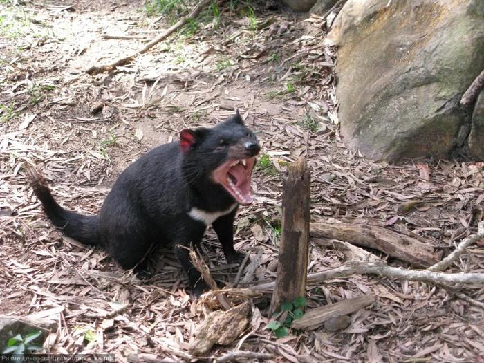 Тасманский дьявол.jpg1 (700x525, 220Kb)