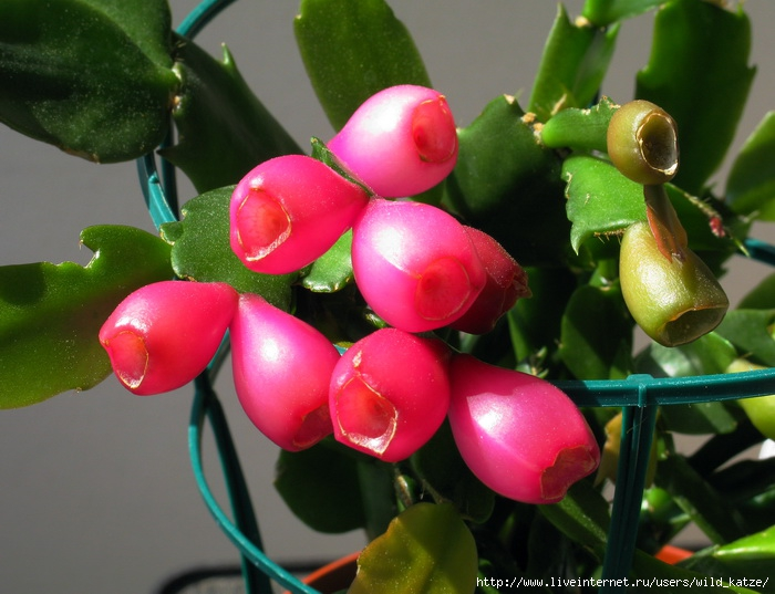 Zigokaktus-Fruchte (700x537, 218Kb)