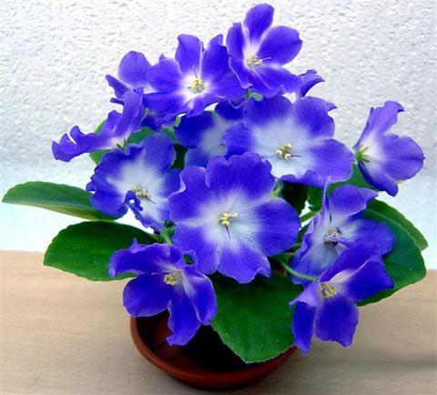 domashnie-dekorativnye-cvety (480x434, 37Kb)
