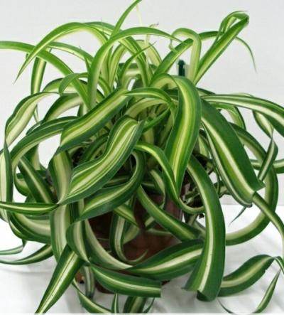 Chlorophytum (400x443, 79Kb)