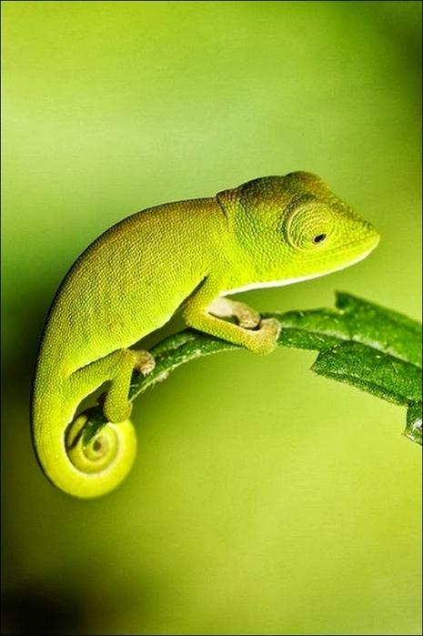 Chameleon02 (465x700, 189Kb)