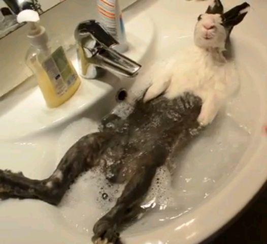 кролик принимающий ванну (526x480, 28Kb)
