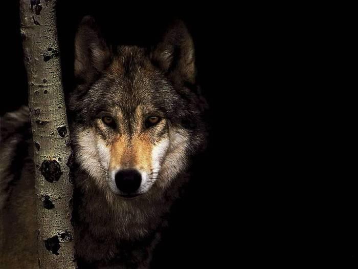 wolf-897891 (700x525, 33Kb)
