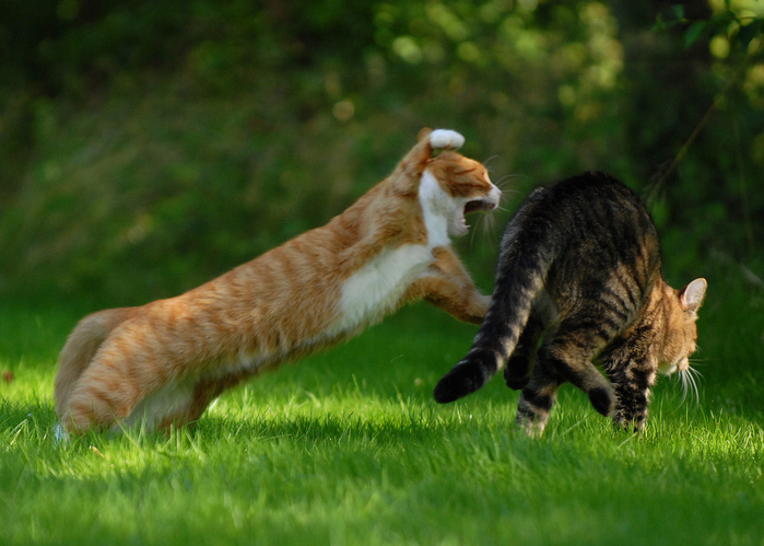 Cat_Fight_30-s1024x731-345069 (700x499, 166Kb)