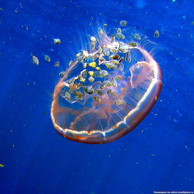 медузы фото 2 (670x670, 315Kb)