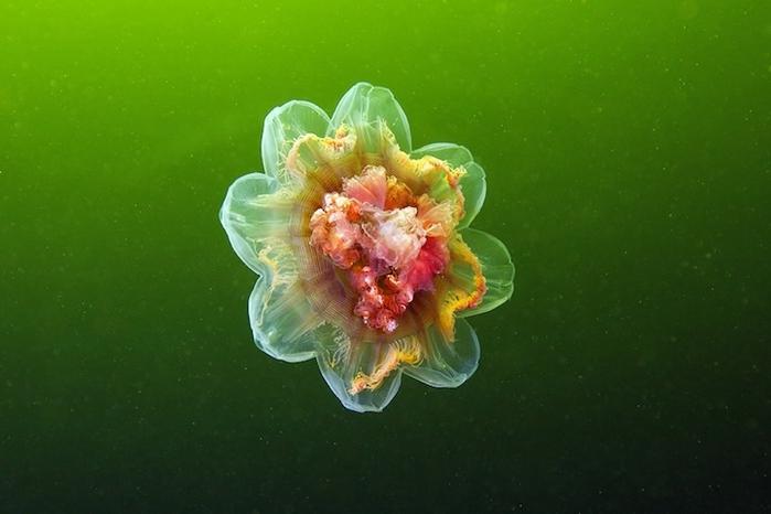 медузы фото 17 (700x466, 175Kb)