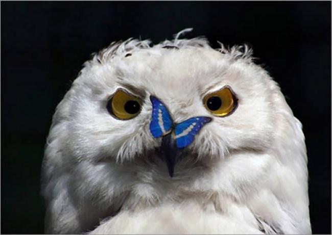 212355-R3L8T8D-650-owls01 (650x461, 72Kb)