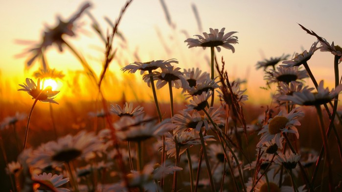 Daisies, Sunset, Nature, HD Wallpapers And Backgrounds