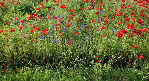 0_8a6f5_e42d88bd_L маки и другие цветы (500x273, 117Kb)