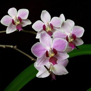 OrchidPhalaenopsis3_thumb (310x310, 27Kb)