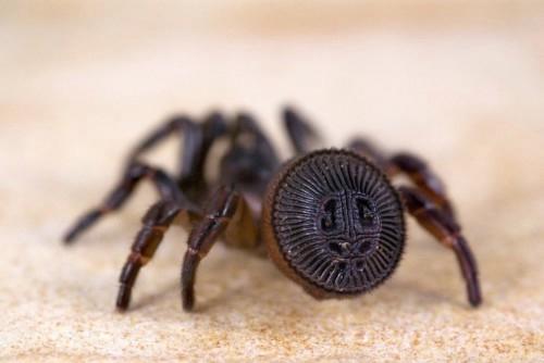 Cyclocosmia truncata паук фото 2 (500x334, 57Kb)