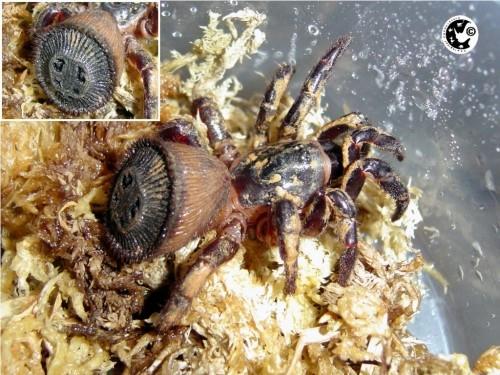 Cyclocosmia truncata паук фото 6 (500x375, 167Kb)