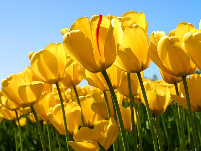 Tulips (700x525, 465Kb)