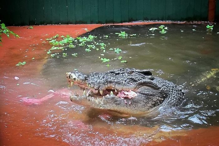 крокодил Кассиус Клей фото 1 (700x466, 290Kb)