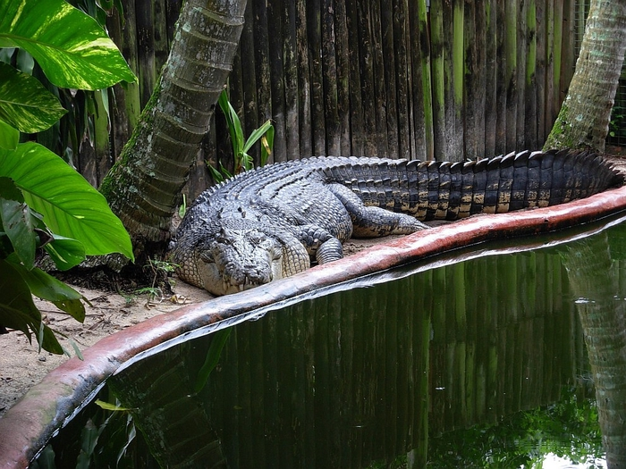 крокодил Кассиус Клей фото 7 (700x525, 336Kb)