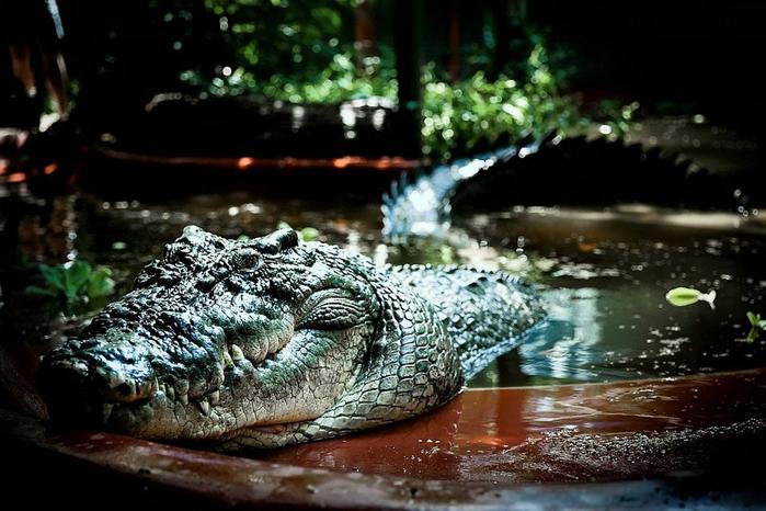 самый большой крокодил в мире Кассиус Клей фото 4 (700x466, 342Kb)