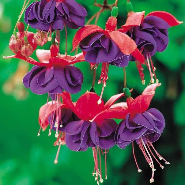Удивительные цветы .  Петуния и Фуксия.  (PETUNIA, FUSCHIA by JAN Mclean) .