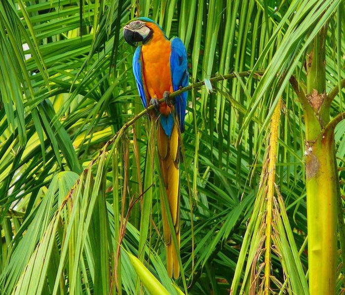 Леса Амазонии16 (700x598, 673Kb)