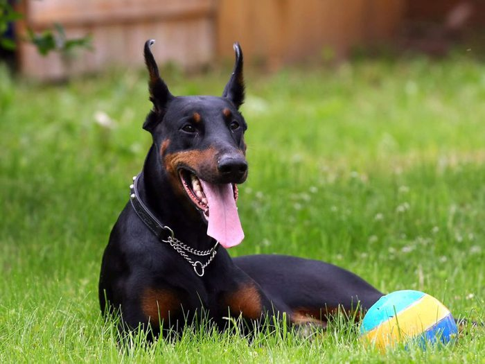 Doberman_Pinscher-HD (700x525, 60Kb)