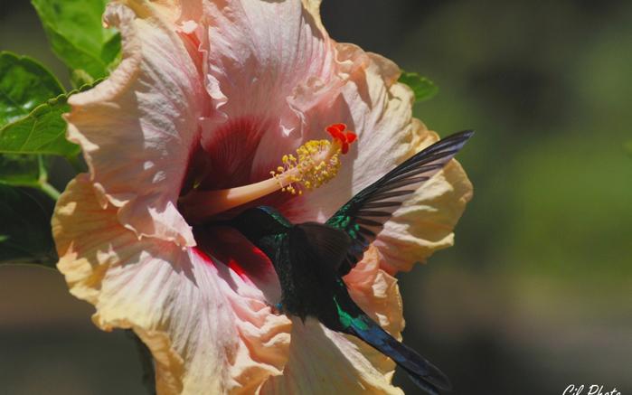 Картинки колибри на цветке 2