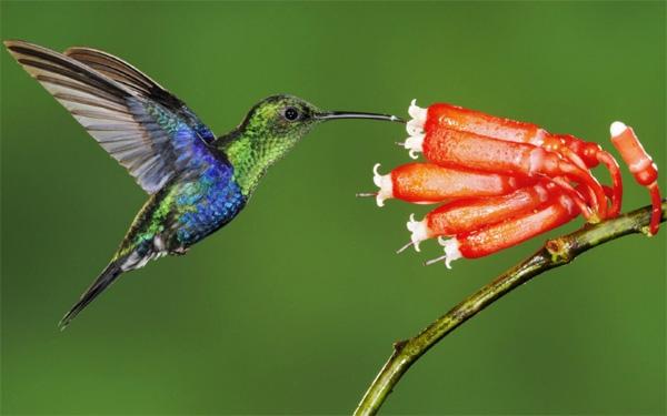 Картинки колибри на цветке 1