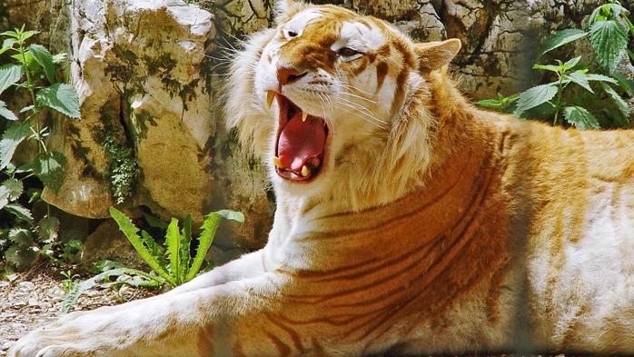 золотой тигр фото (700x393, 283Kb)