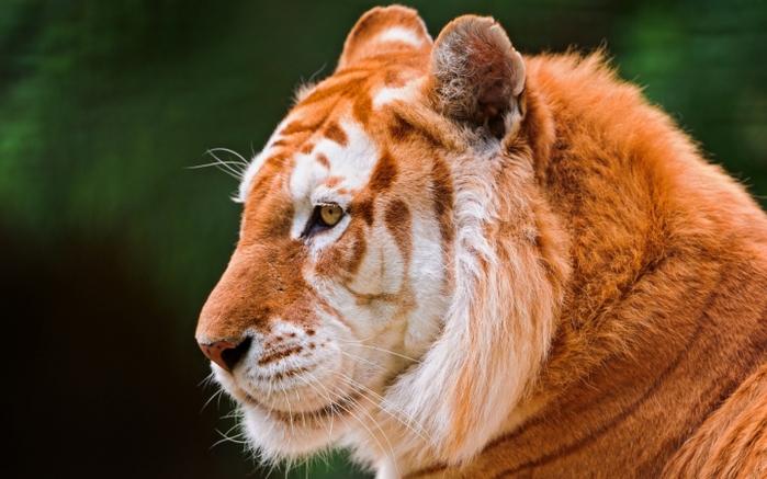 золотой тигр фото 1 (700x437, 230Kb)