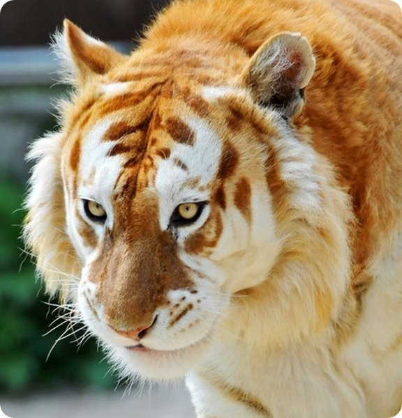 золотой тигр фото 5 (576x600, 186Kb)