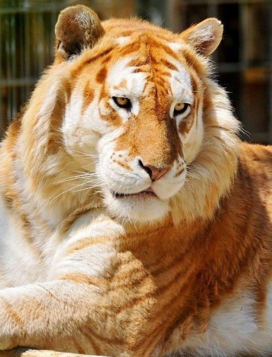 золотой тигр фото 6 (530x695, 258Kb)