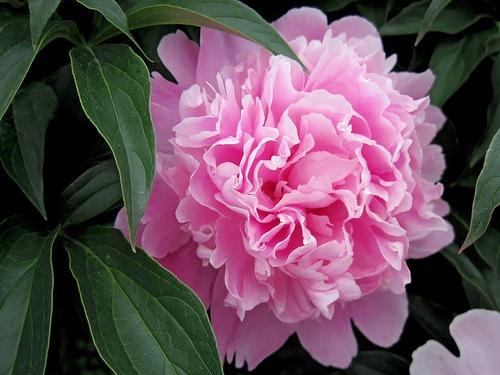 0_80799_d56348c0_L розовый пион (500x375, 65Kb)
