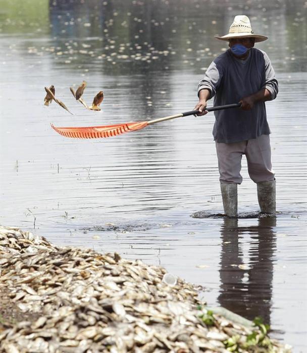 Массовая гибель рыбы в Мексике