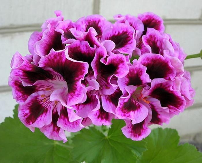 Королевская герань цветок