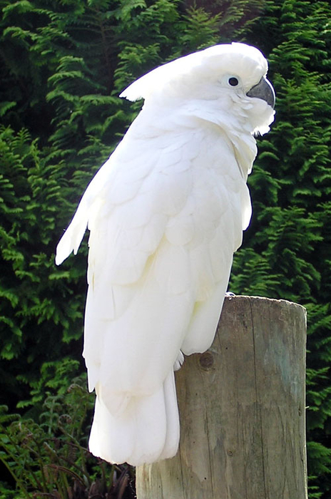 Cockatoo_1_arp_500pix (464x700, 345Kb)