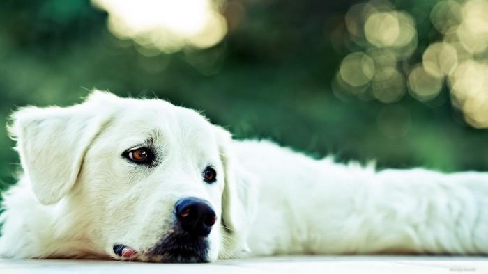 Белая-собака-2 (700x394, 44Kb)