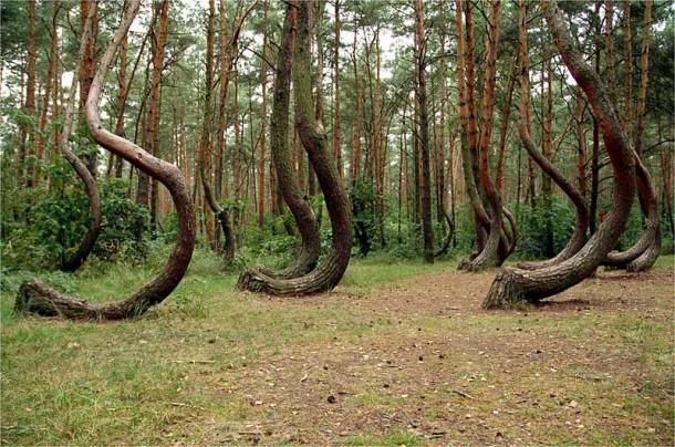 кривой лес 5 (610x404, 366Kb)