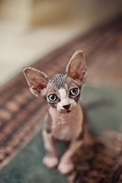 кошки породы сфинкс фото 1 (465x700, 166Kb)