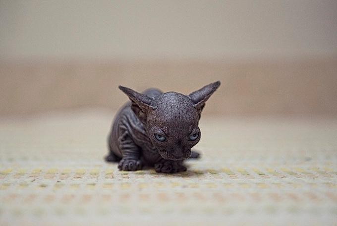 кошки породы сфинкс фото 4 (680x456, 138Kb)