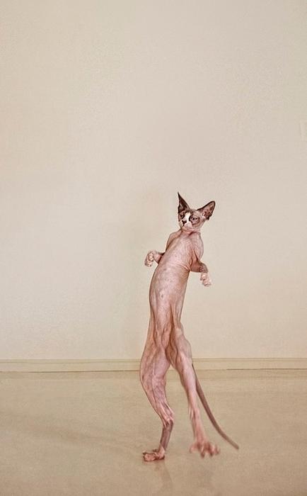 кошки породы сфинкс фото 6 (434x700, 150Kb)