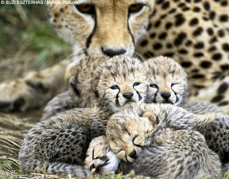 baby cheetah beautiful dangerous animal attacks news protection and conservation of endangered animal species (468x366, 155Kb)