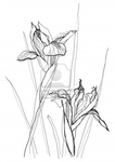 ������ 8109149-iris-flower-drawing-on-white-background (283x400, 55Kb)