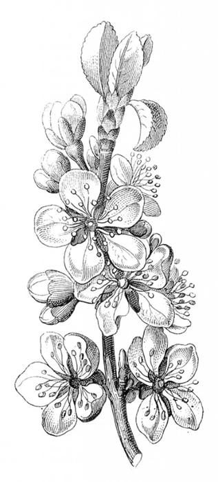 Free-Vintagte-Plum-Blossoms-Image-GraphicsFairy-464x1024 (317x700, 109Kb)
