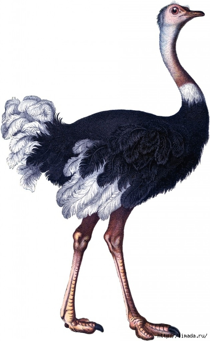 Ostrich005_01-630x1024 (430x700, 150Kb)