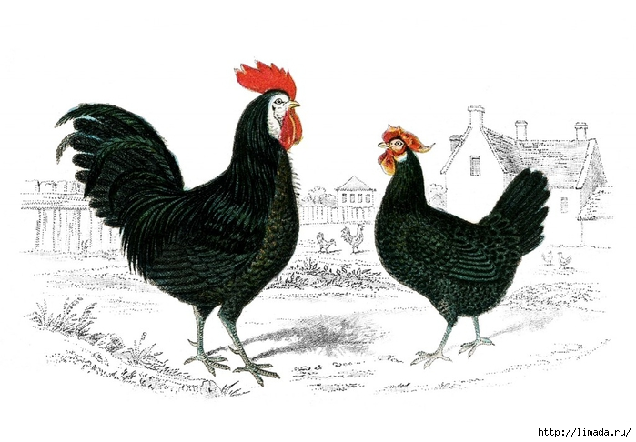 Vintage-Images-Rooster-Hen-GraphicsFairy-1024x712 (700x486, 188Kb)