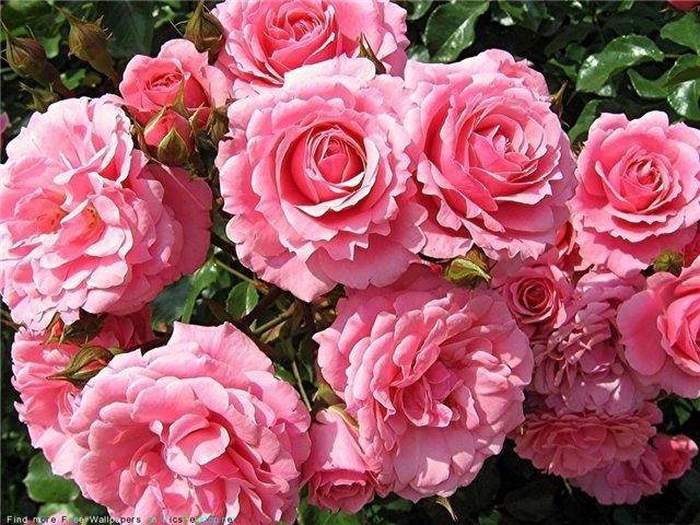 Прекрасная роза о царственная как вы