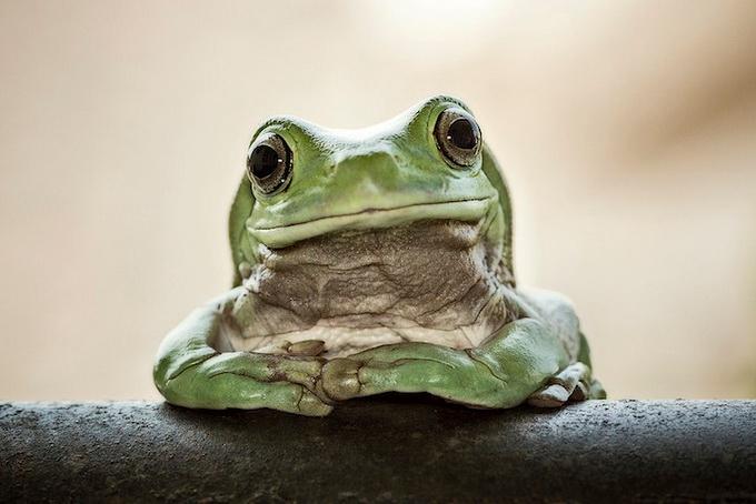 смешные лягушки фото 12 (680x454, 228Kb)