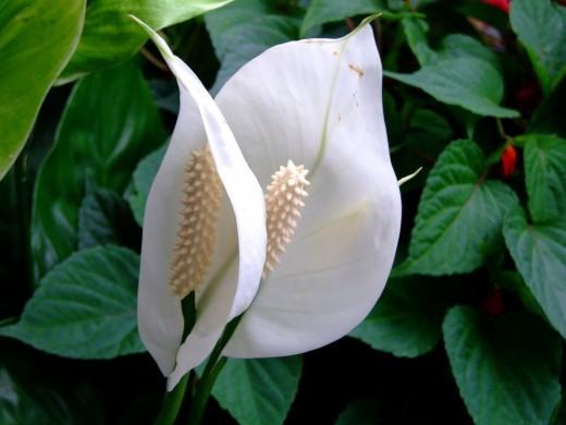 4059776_Spathiphyllum520x390 (520x390, 41Kb)