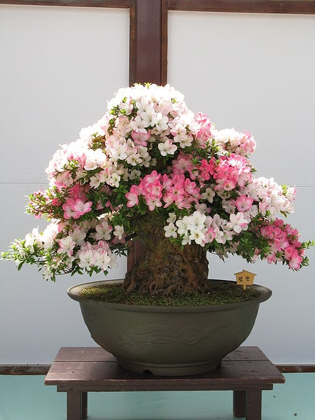 450px-Rhododendron_indicum_Bonsai (450x600, 144Kb)
