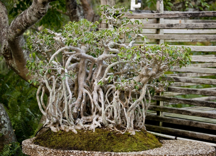 ficus-bonsai-tree-with-entangled-root-system_medium (700x506, 347Kb)