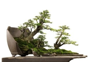 How To Care For Bonsai Tree (324x214, 39Kb)